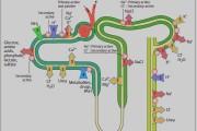 مروری بر نقل و انتقالات مهم در طول نفرون